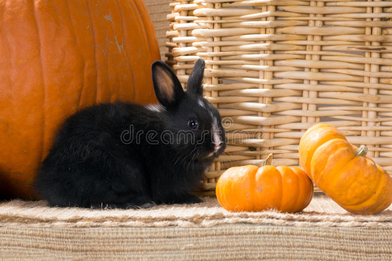 Black and white baby Dwarf Dutch rabbit month next to orange pumpkins. Black and white Dwarf Dutch rabbit month next to orange pumpkins royalty free stock photo