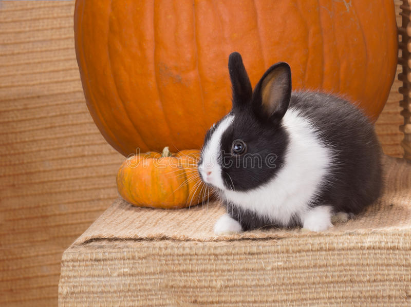Black and white baby dwarf dutch rabbit nearly two pumpkins. One. Black and white dwarf dutch rabbit nearly two pumpkins. One month royalty free stock image