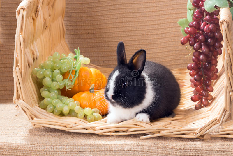 Black and white baby dwarf dutch rabbit next to the grapes and p. Umpkins royalty free stock image