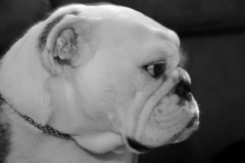 Black and White Baldrick royalty free stock photos