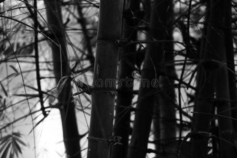 Black and White Bamboo stems, close up view, vertical stock photography