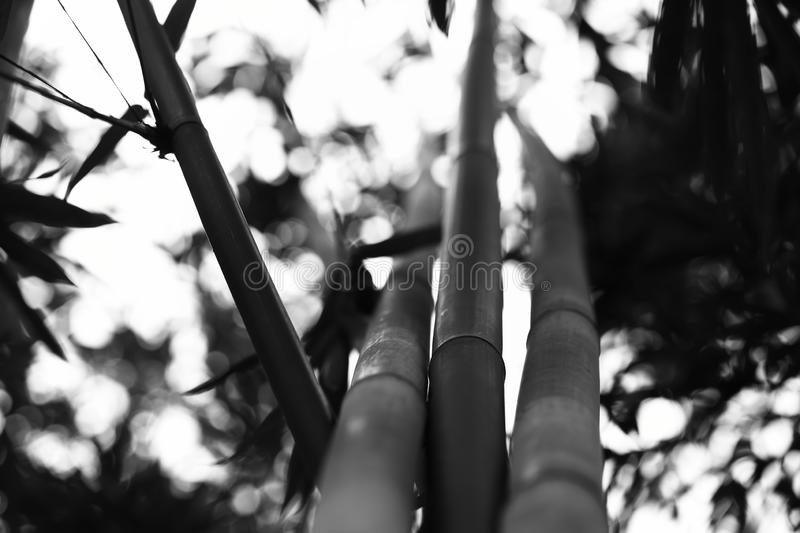 Black and White Bamboo stems, close up view, vertical royalty free stock image