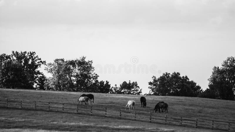 Black and white banner of horses grazing in a pasture stock image