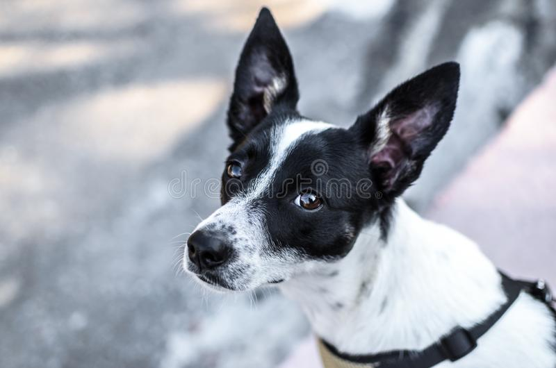 Black and white basenji dog on a white background winter photo. Photo of a domestic dog of a nine month old beautiful Basenji white puppy with a black speck with stock photo