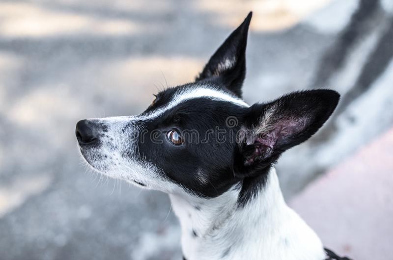 Black and white basenji dog on a white background winter photo. Photo of a domestic dog of a nine month old beautiful Basenji white puppy with a black speck with stock images