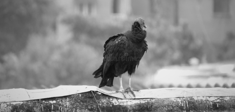 Black, Black And White, Beak, Fauna royalty free stock image
