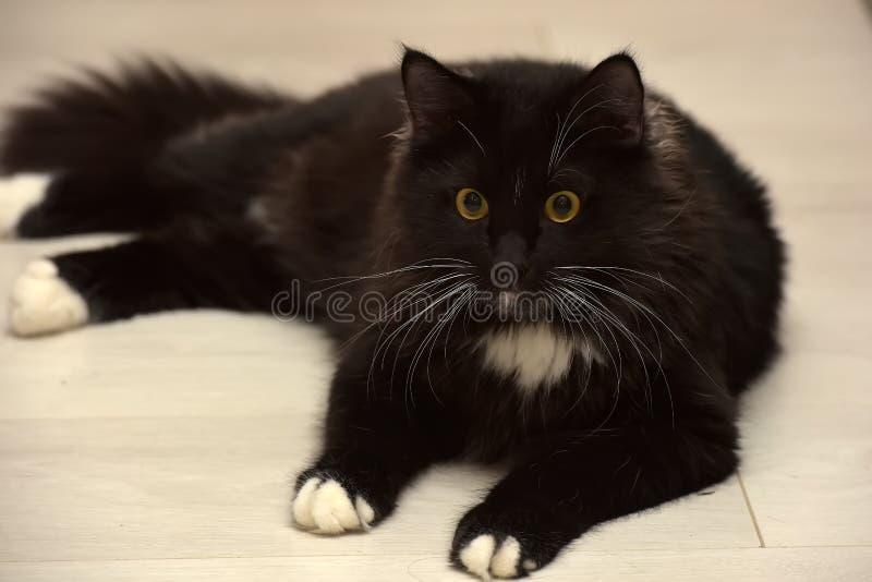 Black and white beautiful sleek fluffy cat stock photo