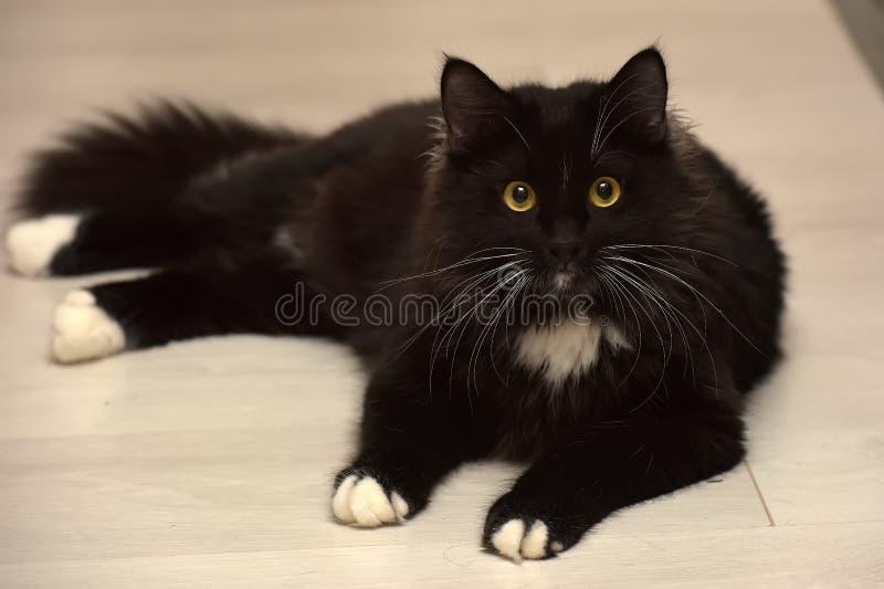 Black and white beautiful sleek fluffy cat stock image
