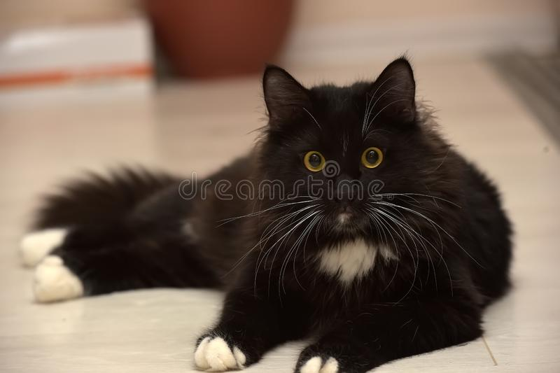 Black and white beautiful sleek fluffy cat stock images