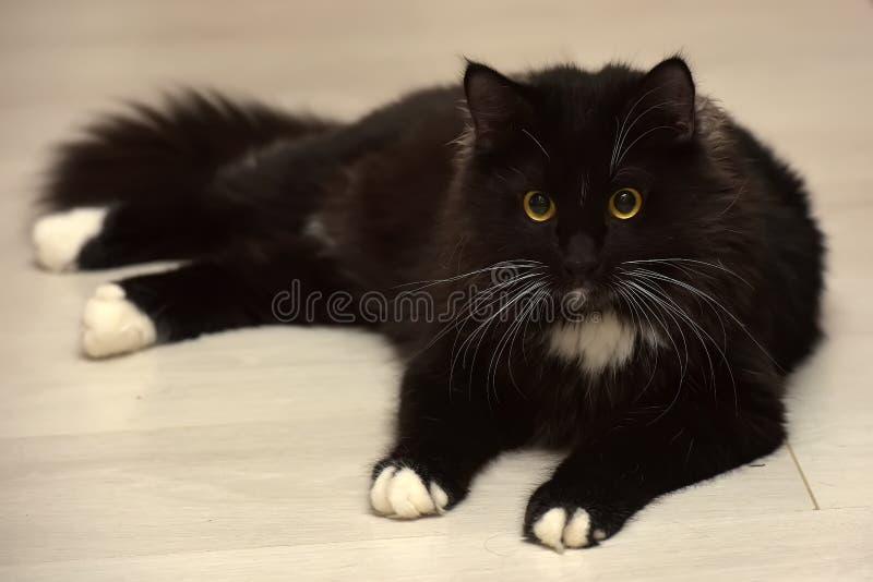 Black and white beautiful sleek fluffy cat royalty free stock photography