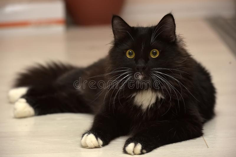 Black and white beautiful sleek fluffy cat stock photography