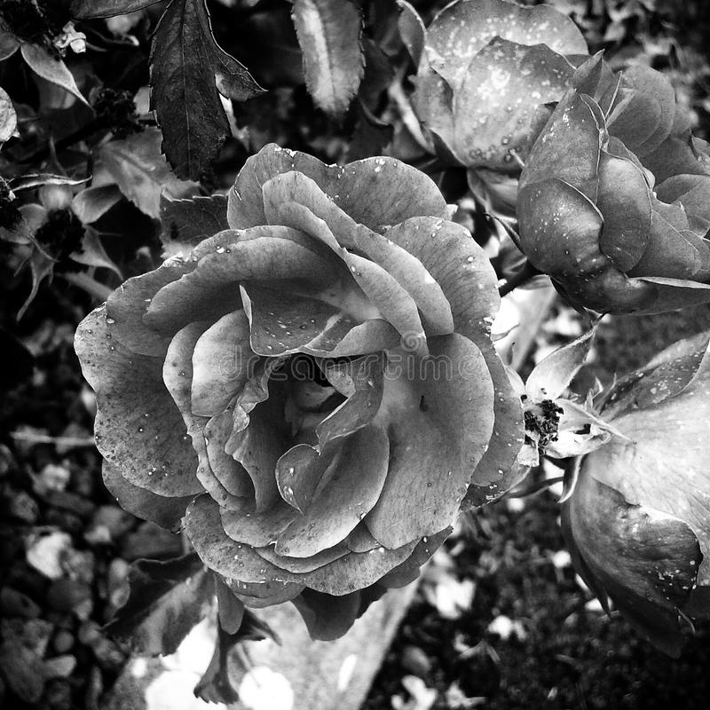 Black&white beauty royalty free stock photos