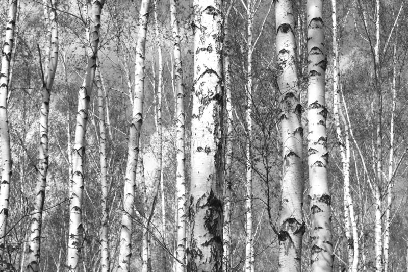 Black and white birches in birch grove. Black and white photo of black and white birches in birch grove with birch bark between other birches royalty free stock image