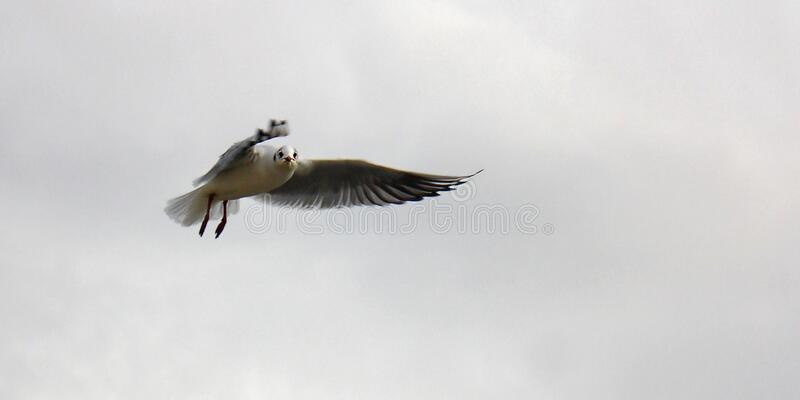Black and White Bird Flying Oin the Sky royalty free stock image