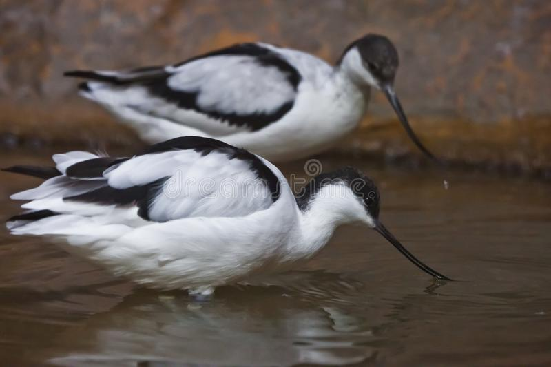 Black and white bird with a long beak sandpiper Pied avocet in water stock photos