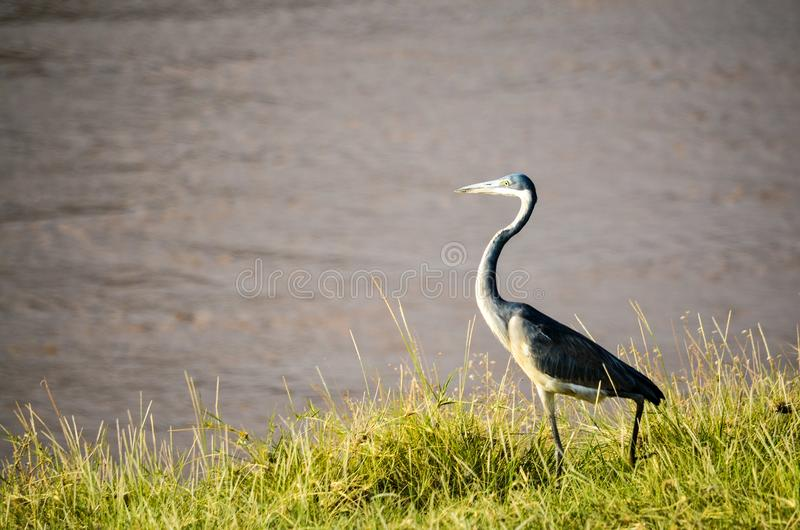 Black and White Bird Standing on Green Grass Beside Body of Water at Daytime royalty free stock images
