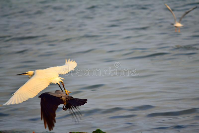 Black and white birds flying over the sea royalty free stock photography