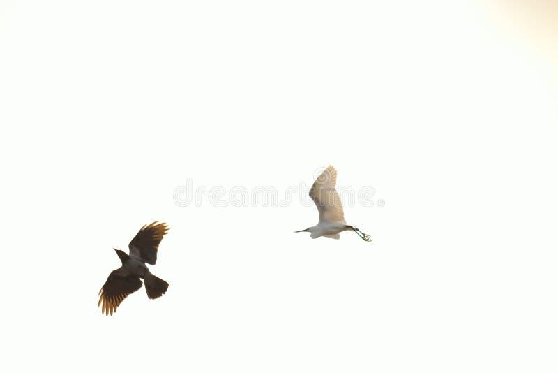 Black and white birds flying on white sky background. Crow and white heron flying on white foggy skies background, Black Sea Coast Bulgaria stock photo