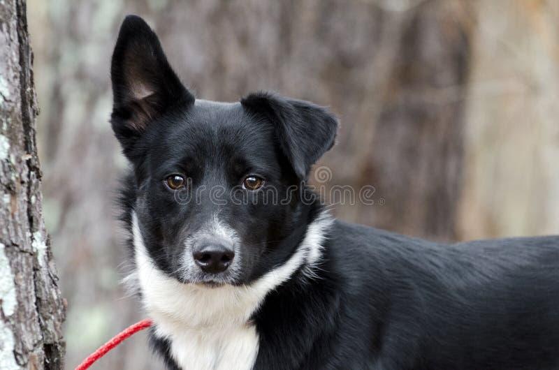 Black and white Border Collie Aussie mixed breed dog. Male Black and white Border Collie Aussie mixed breed dog. Outdoor animal adoption photography for Walton stock photos
