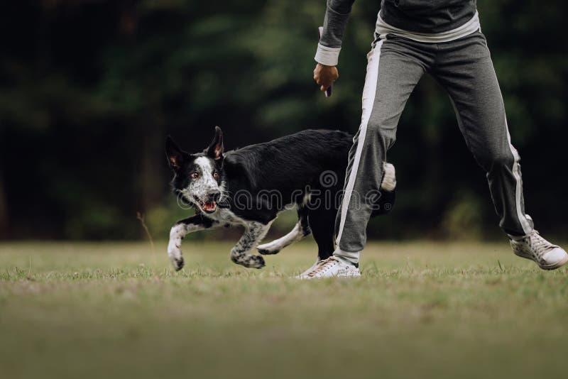 Black and white border collie puppy runs around girl. Black and white happy border collie puppy runs around girl royalty free stock photos