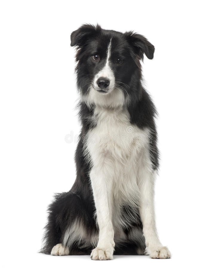 Black and white Border Collie sitting, 8 months old royalty free stock photos