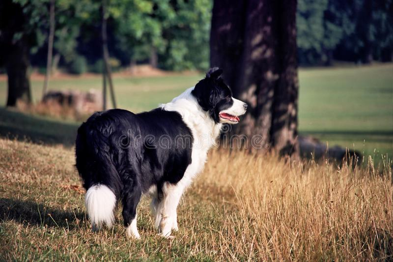 A border collie standing in a grassy field royalty free stock image
