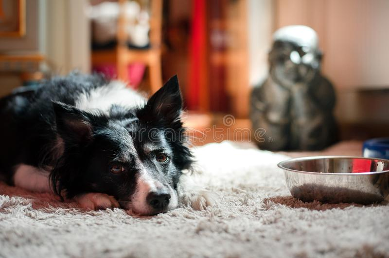 Black and white border collie waiting for food. Dog lying next to empty dog`s bowl. Buddha on the background stock image