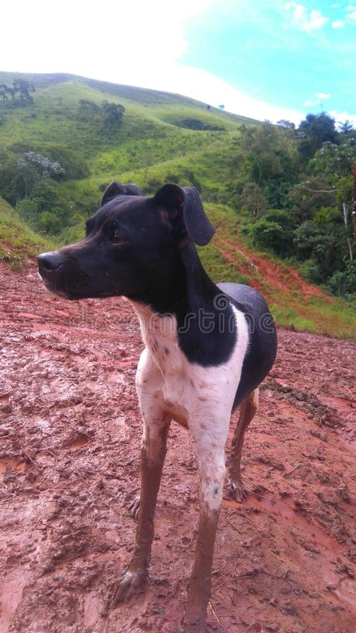 Black and white Brazilian Terrier, Puppy Happy playing in the clay with mountains and blue sky in the background stock image