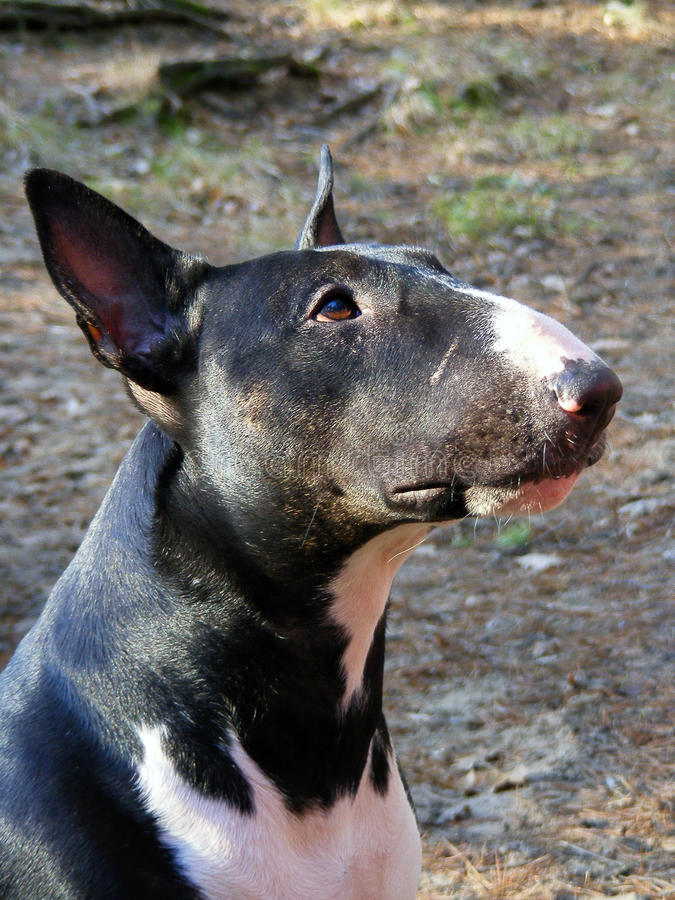 Black and white bull terrier portrait stock image
