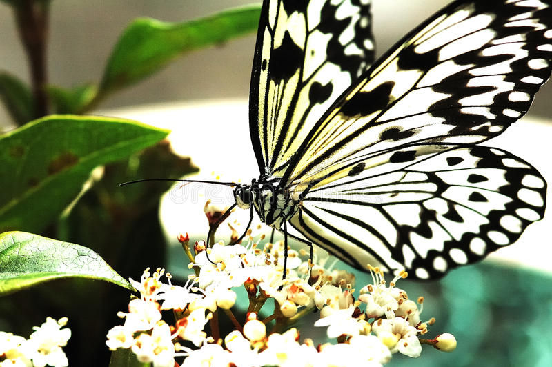 Download Black and White Butterfly stock image. Image of bush - 12540479