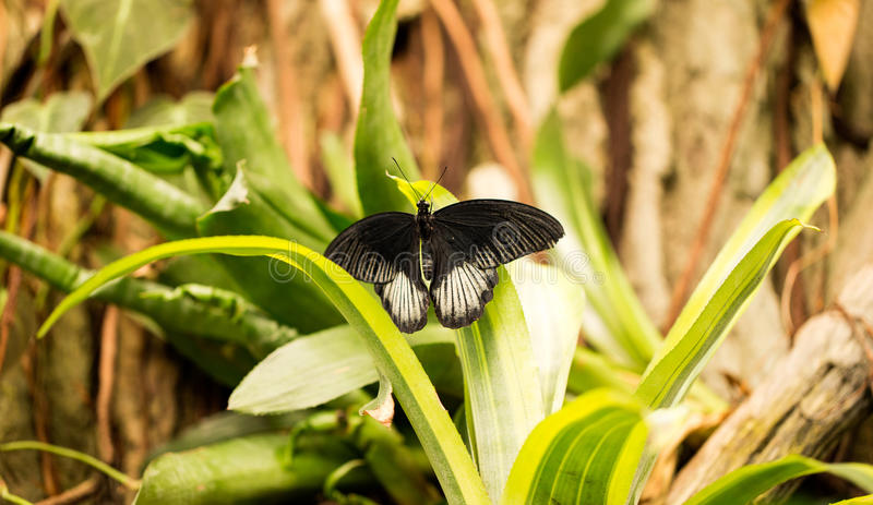 Black and white butterfly. Beautiful black and white butterfly on a leaf in a garden stock photography
