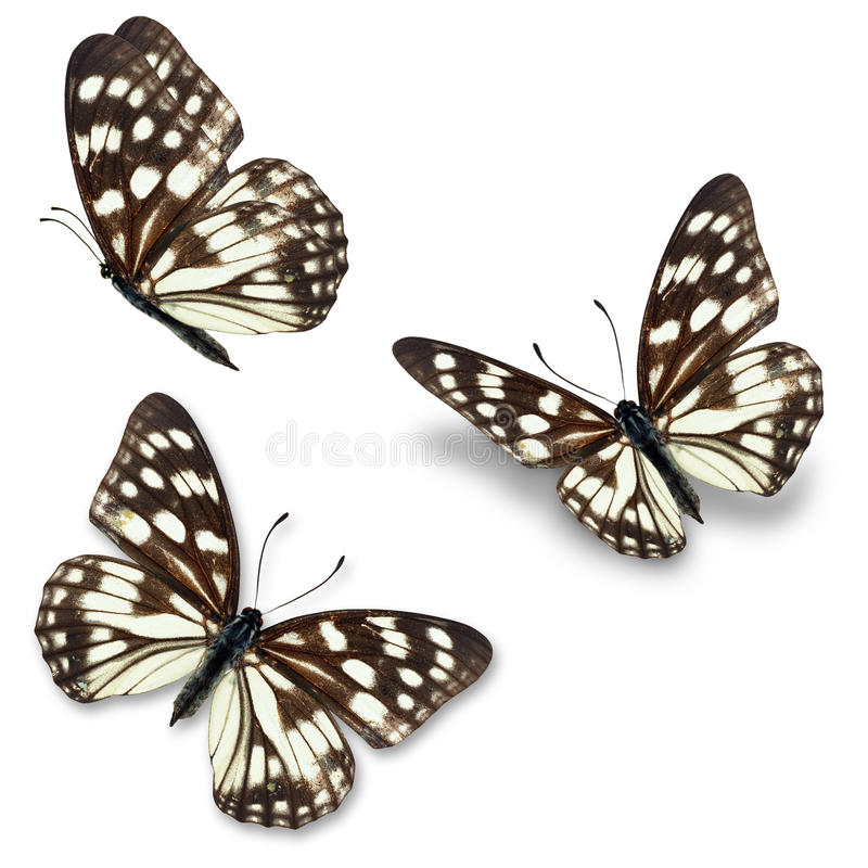 Black and white butterfly royalty free stock photo