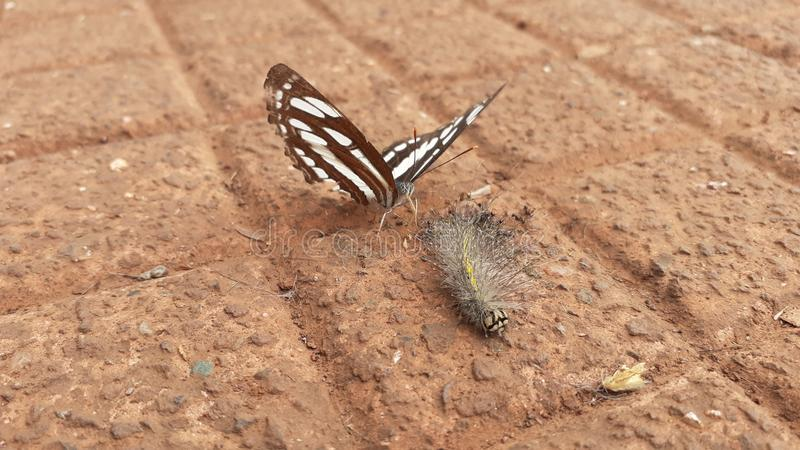 Black and white butterfly on the floor with bug stock photography