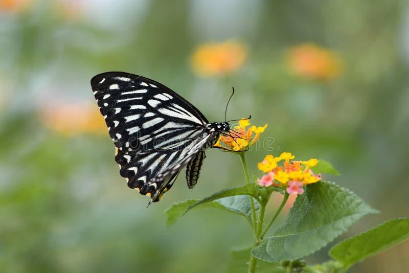 Black & white butterfly flying over flowers stock photo