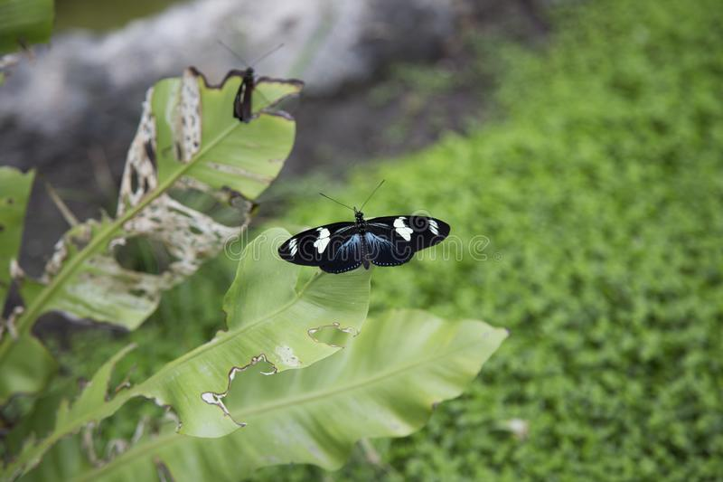 Black white butterfly on leaf. A black white butterfly perched on a leaf in the Oceanographic Park in Valencia, Spain royalty free stock photography
