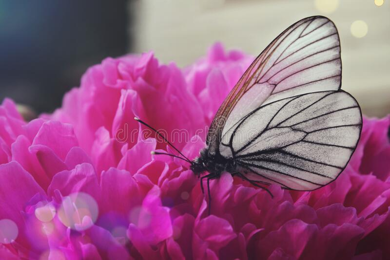 Black and white butterfly on a pink peony flower, closeup.  stock photography