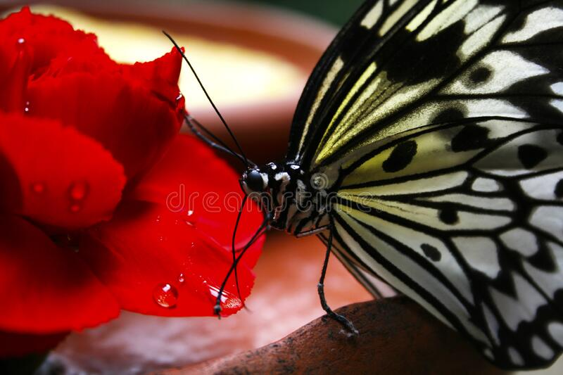 Black and White Butterfly on Red Flower royalty free stock photography
