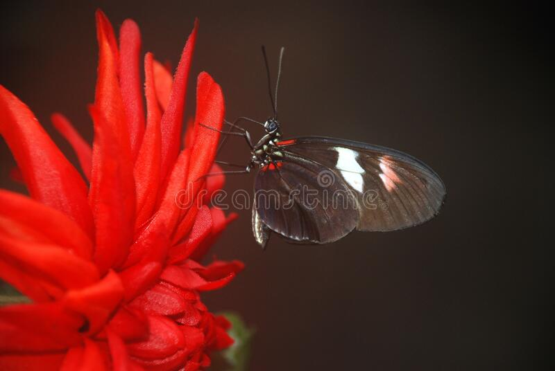 Black And White Butterfly On Red Multi Petaled Flower Free Public Domain Cc0 Image