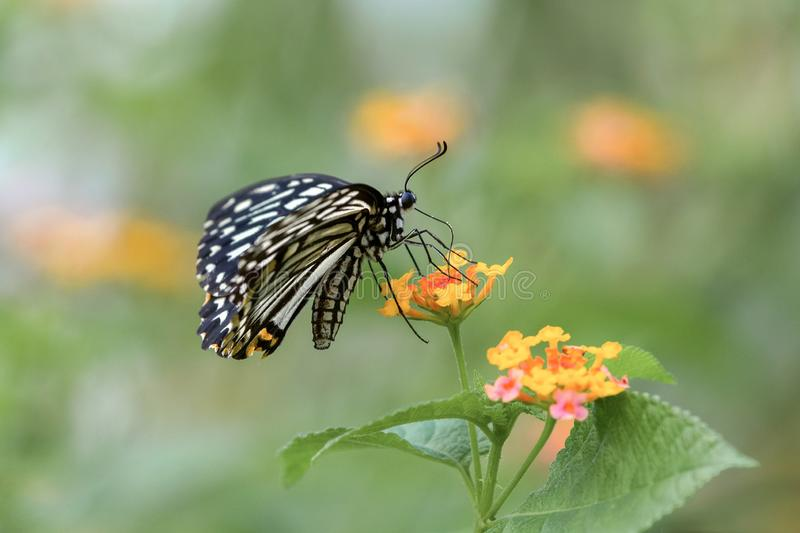 A black and white butterfly standing on yellow flowers stock images