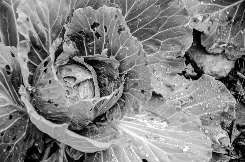 Black and white cabbage. stock photos