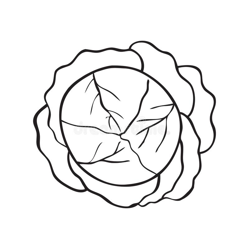 Black and white vector illustration of cabbage vector illustration
