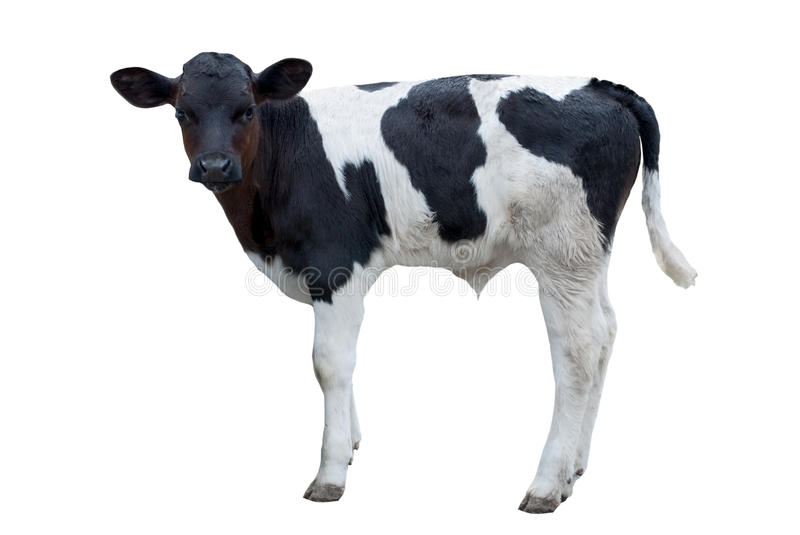 Download Black and white calf stock image. Image of standing, view - 10574197