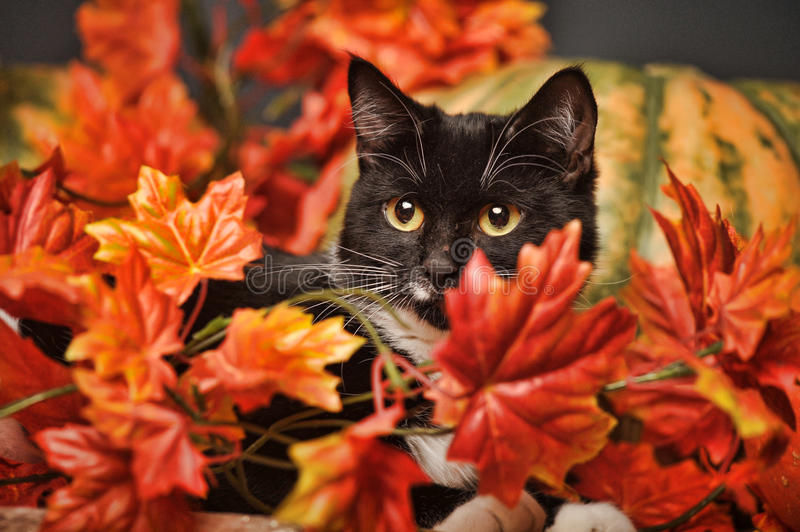Black and white cat of autumn maple leaves stock photo