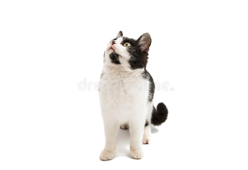 Black and white cat. On a white background stock image