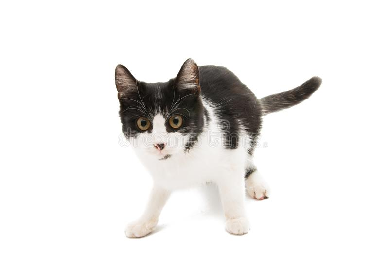 Black and white cat. On a white background royalty free stock photo