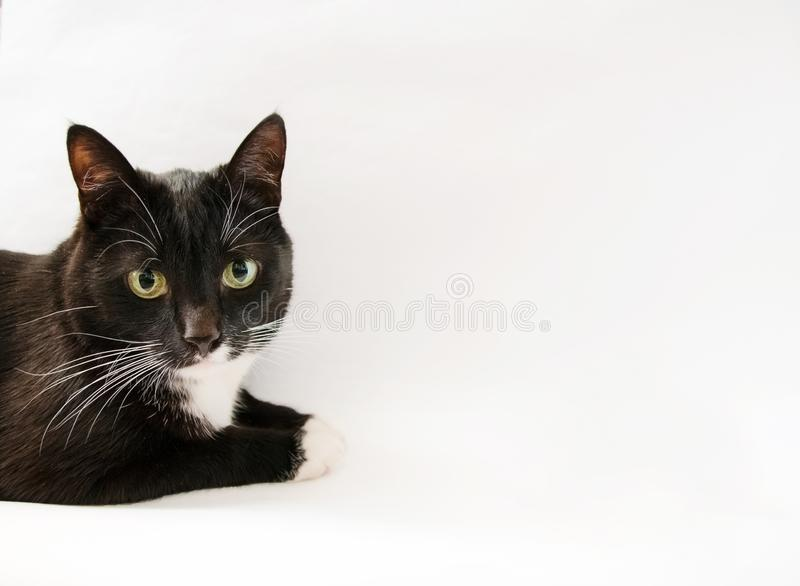 Black and white cat on white background. Black-and-white a lies. Cat eye royalty free stock photography