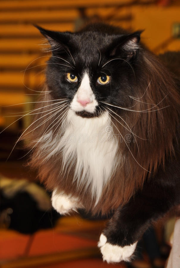 Download Black white cat stock photo. Image of cute, meow, kitten - 39513734