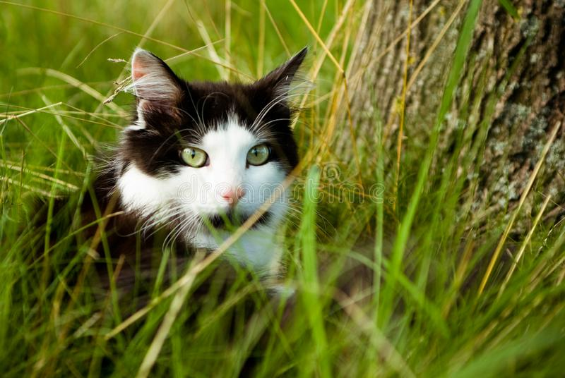 Black and white cat. Beautiful black and white cat with green eyes, see, raising up the muzzle stock image