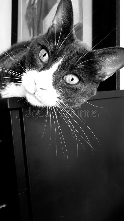 A black and white cat stock image