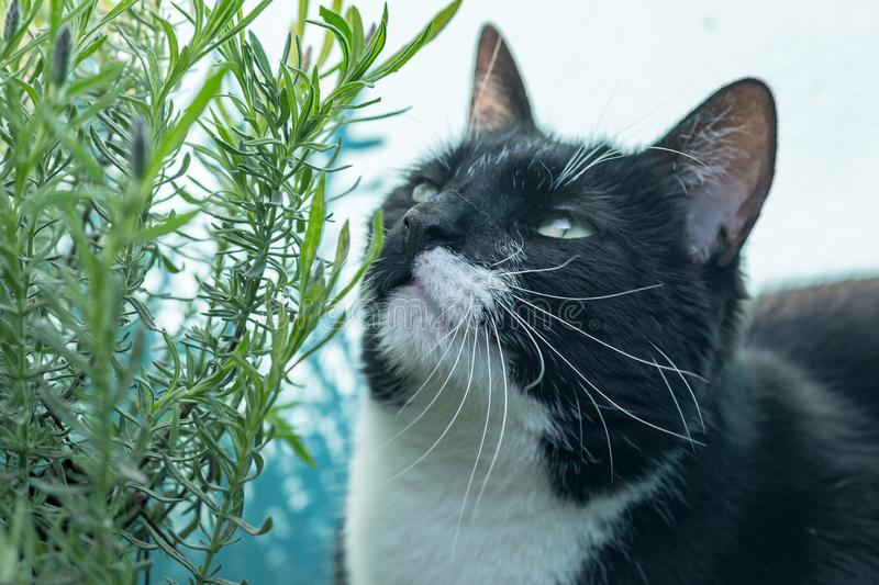 A Black and White Cat. Looking up at a lavender bush stock photo